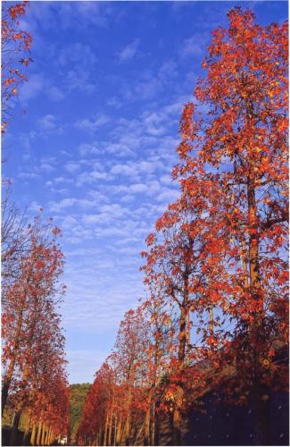 A202 天高く 東川 まさ男 金程3丁目(モミジバフウの紅葉並木) 2015/11/21