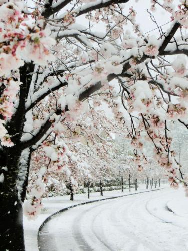 A049 さくらに雪 Kirimi はるひ野 2020/03/29