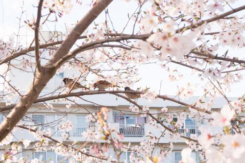 A232 桜とスズメ 古江 裕二郎 百合ヶ丘駅近くの線路沿いの桜並木 2017/04/08