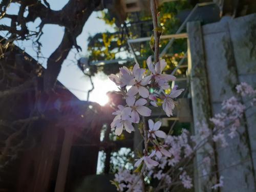 A032 絢爛に咲け 朧さん 麻生区 高石 2丁目 21-1 潮音寺 2020/03/25