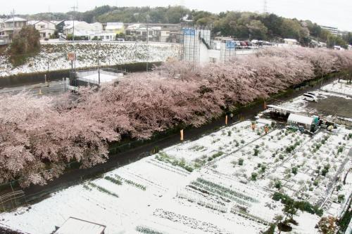 A011 冬と春の交錯 遊人 麻生川(小田急多摩線) 2020/03/29