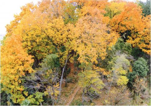 A104 柿生緑地の黄葉 今井 森夫 片平