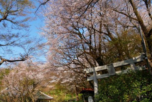 A151 浄慶寺の春 仕事柄 浄慶寺 2020/03/26