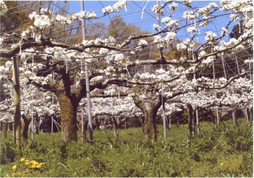 A174 新緑の梨畑 窪田 迅郎 麻生区黒川 2020/04/06