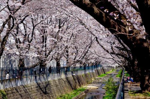 A071 桜のトンネル 江藤 千晶 麻生川 2017/04/05