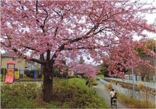 A212 桜の下さっそうと 小梅ちゃん 麻生区片平 2020/02/25