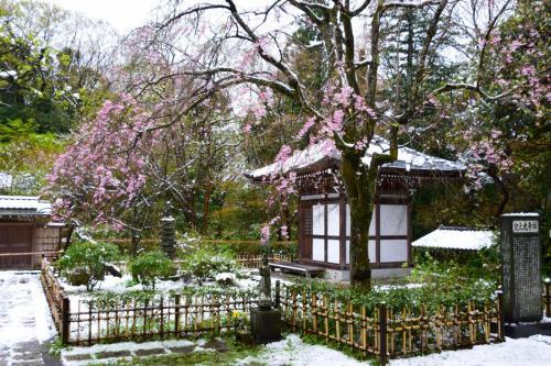A077 雪桜 相曽 正義 王禅寺 2020/03/29