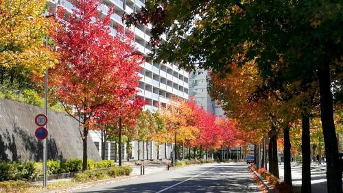 A150 アートセンター前アメリカフウ並木の紅葉 仕事柄 麻生区万福寺地内 2020/11/05