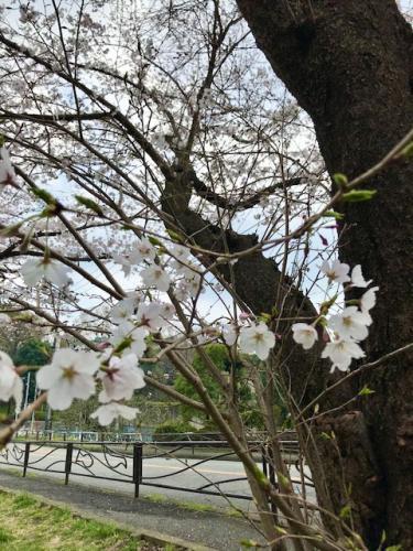 A134 春が来た yumirin 白山神社 2019/03/31