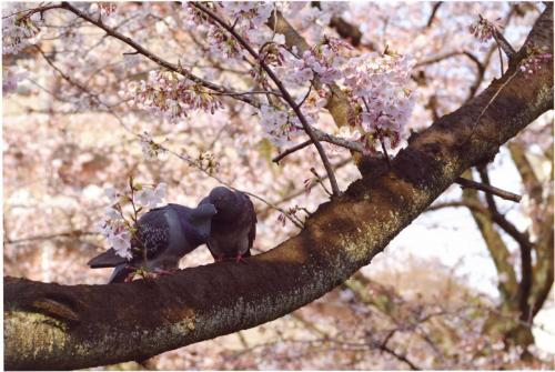 A113 麻生川も恋の季節 中西 香保里 麻生川 2017/04/04