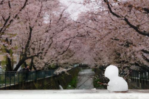 A012 雪だるまの花見 遊人 麻生川(麻生区片平) 2020/03/29