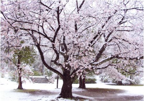A194 季節外れの32年ぶりの大雪と満開の桜 sakurako 弘法松公園 2020/03/29