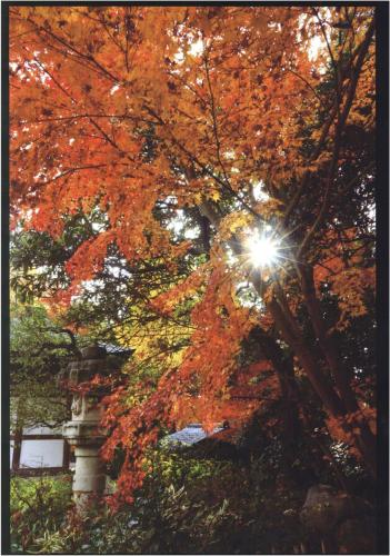 A190 モミジ萌ゆる 松山 進 王禅寺 2020/12/12