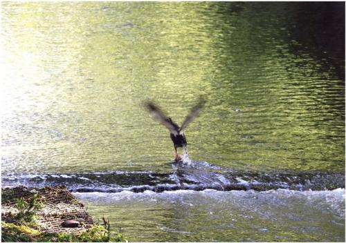 A166 希望へ鴨飛び立つ麻生川 ラン蔵 麻生川 2019/06/16