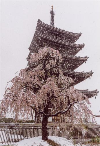 A180 春雪(2) 義一 香林寺 2020/03/29